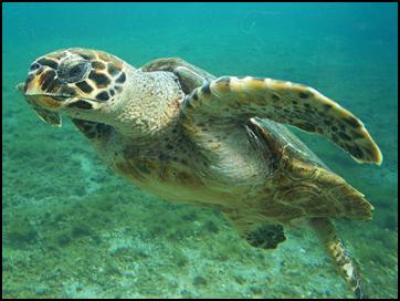 Indicazioni di protezione e conservazione di alcune specie for Tartarughe marine letargo